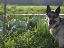 Free Dog Guarding Vegetables Garden Royalty Free Stock Photo - 98345855