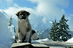 Dog guards cabin in the mountains. Puppy sitting on the roof of the shed and monitors cabin in the mountains Stock Image