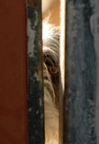 Dog guards the eye behind a door Stock Image