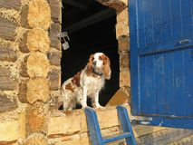 Dog guards the house Stock Images