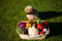 Dog guards vegetable basket in the meadow Royalty Free Stock Photos