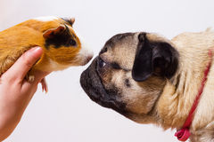 Dog and guinea pig Stock Photography