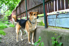 Dog gurarding. Dog guarding the fence. Looking for intruders Stock Photo