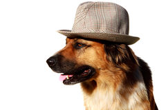 Dog with had. Mixed breed, on white background Stock Photography