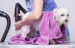 Dog hair dry hairdresser royalty free stock photo