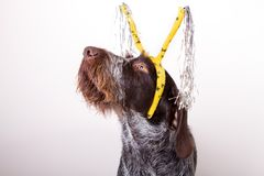 Dog in hairband Stock Image