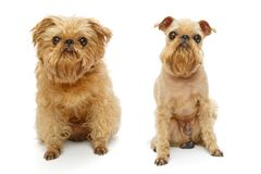 Dog before and after haircut. Brussels Griffon dog breed before and after haircut isolated on white royalty free stock photo