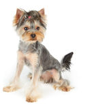 Dog with haircut sits on white Royalty Free Stock Images