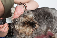 Dog hairdresser, hairstyle, spa for dogs , schnauzer Stock Photo