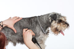 Dog hairdresser, hairstyle, spa for dogs , schnauzer royalty free stock photos