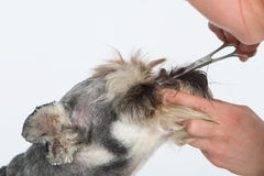 Dog hairdresser, hairstyle, spa for dogs , schnauzer Royalty Free Stock Photo