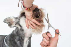 Dog hairdresser, hairstyle, spa for dogs , schnauzer Royalty Free Stock Images