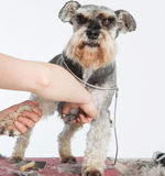 Dog hairdresser, hairstyle, spa for dogs , schnauzer Stock Photos