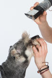 Dog hairdresser, hairstyle, spa for dogs , schnauzer Stock Image