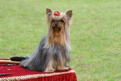Dog on the hairdresser`s desk stock photography