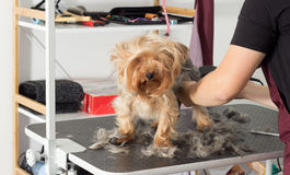 Dog on a hairstyle in a grooming salon. Yorkshire terrier dog on a hairstyle in a grooming salon stock photo