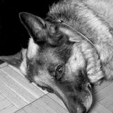 Dog Half Asleep Stock Photography