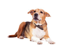 Dog, half russian hound and Pit bull  on white Royalty Free Stock Images