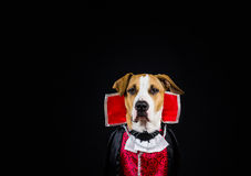 Dog in halloween costume Royalty Free Stock Photography