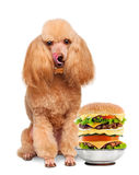Dog with a hamburger. stock photography