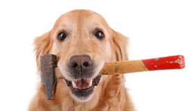 Dog with hammer. Golden retriever with hammer isolated on white background Royalty Free Stock Image