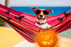 Dog on hammock on halloween. Dog relaxing on a fancy red  hammock with sunglasses and a pumpkin lantern for halloween holidays Royalty Free Stock Photos