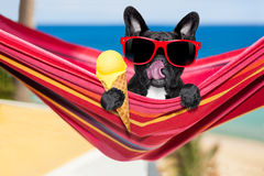 Dog on hammock and ice cream Royalty Free Stock Images