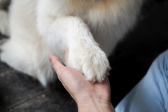 Dog hand shaking with human - friendship and pet training concept.  Stock Photo
