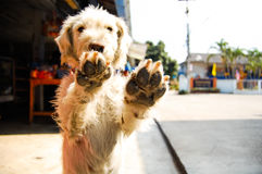 Dog hand. Up in two leg Stock Photos