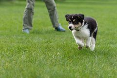 Cut small Border Collie puppy dog is running with his owner over a green meadow stock image