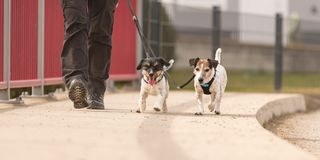 Dog handler walks with her little dogs on a road. Two obedient Jack Russell Terrier doggy. Dog handler walks with her little dogs on a road. Two cute obedient royalty free stock photography