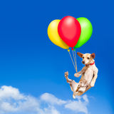 Dog hanging on balloon in  air Stock Images