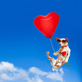 Dog hanging on balloon in  air for valentines day Stock Image