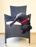 Dog hanging off chair stock image