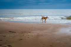 Dog happily running on the beach on summer day Stock Photo