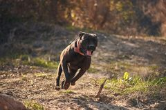 Dog happily runs in backyard. Female dog of Cane Corso breed runs in autumn in backyard during golden hour royalty free stock images