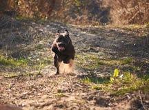 Dog happily runs in backyard. Female dog of Cane Corso breed runs in autumn in backyard during golden hour stock photos