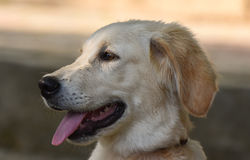 Dog with happy face. Closeup, isolated Royalty Free Stock Image