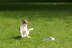 dog in a happy jump on a green grass royalty free stock photos