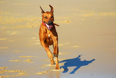 Dog happy running Royalty Free Stock Photo
