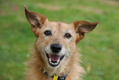 Dog with a happy smile. Cute scruffy senior terrier dog with a happy smile on her face royalty free stock images