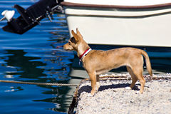 Dog in harbor Stock Images