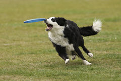 The dog has almost caught the frisbee Royalty Free Stock Photos