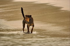Dog has fun on beach . Royalty Free Stock Image
