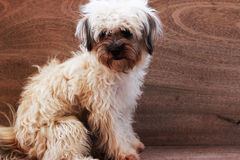 The dog has a light brown hair sitting on a brown sofa.  Royalty Free Stock Images