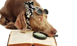 The dog has a rest after book reading Stock Photo