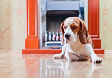 The dog has a rest near to a fireplace Stock Image