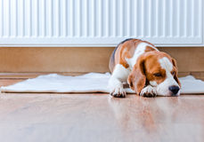 Dog has a rest  near to a warm radiator Stock Photography