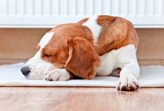Dog has a rest  near to a warm radiator Stock Photo