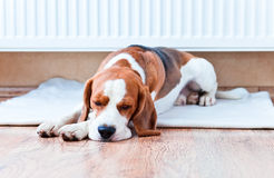 Dog has a rest  near to a warm radiator Royalty Free Stock Image